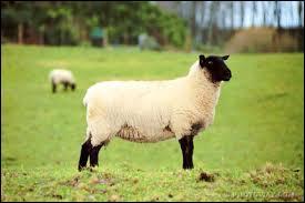 Les moutons sont surtout élevés pour leur ________ et le ___________ que l'on fabrique avec le lait des ________.