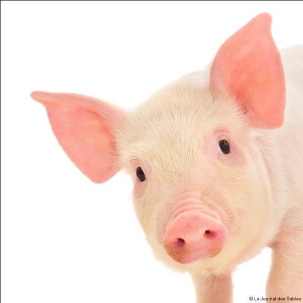 Le porc est l'interdit alimentaire de la religion....