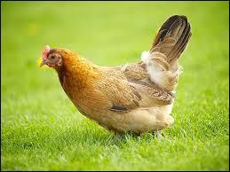 La poule est élevée pour sa viande, ses oeufs et pour....