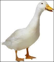 Il existe deux espèces de canards qui sont élevées dans les fermes :