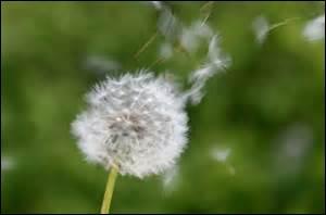 À quelle expression associez-vous cette fleur, comme le fit Larousse ?