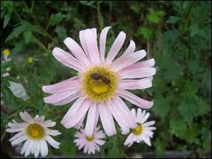 Avec qui cette fleur partage-t-elle son nom ?