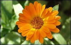 Avec quel sentiment associez-vous cette fleur ?