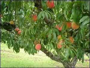 Avec quelle action peut-on associer le nom de cet arbre ?