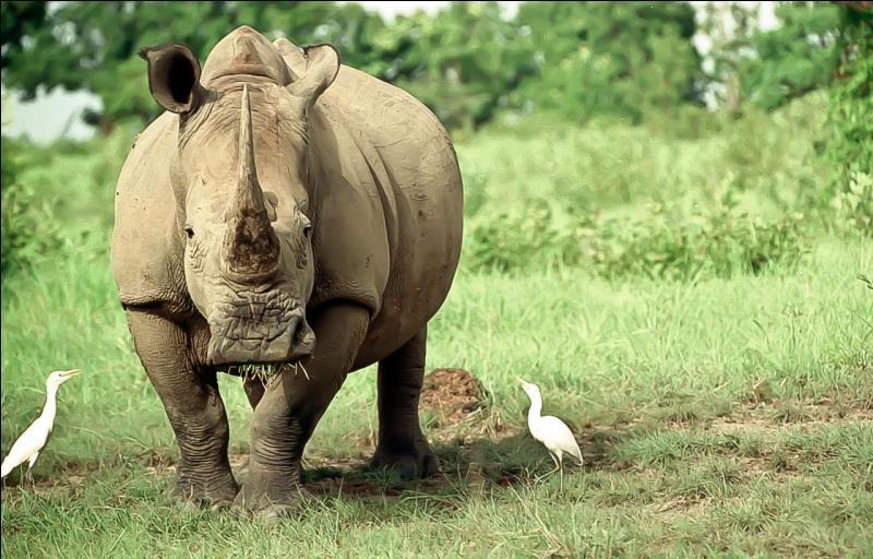 Vous avez certainement entendu parler du rhinocéros noir et du rhinocéros blanc, peut-être même connaissez-vous ce qui les différencie, dans ce cas vous n'aurez pas de problème à identifier celui-ci !