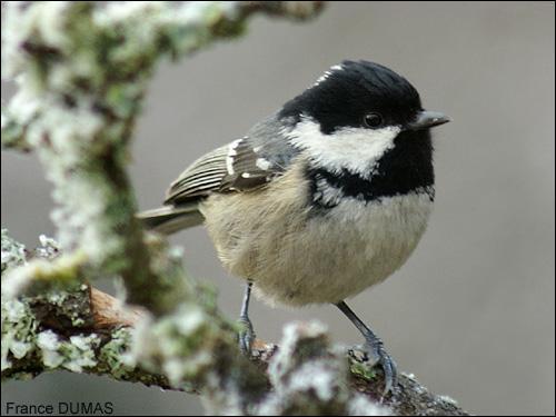 Quizz oiseaux de nos campagnes 2 quiz photos oiseaux for Oiseau tete noire et blanche