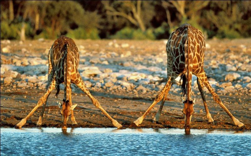 Pour boire, cet animal se met à genoux.