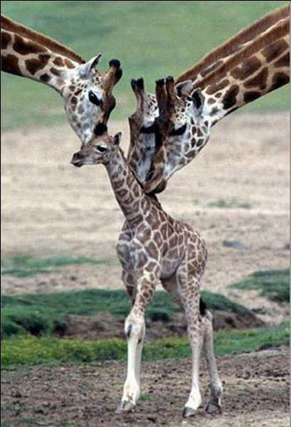 Le petit s'appelle un girafeau.
