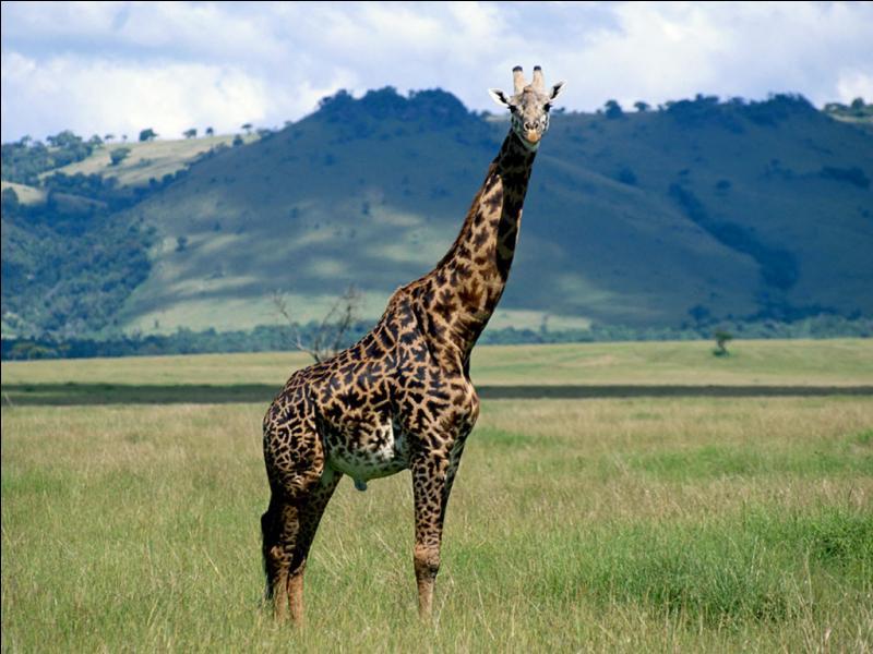 Cet animal est une girafe.