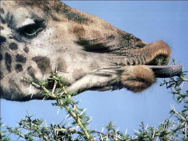 Sa langue rose et lisse luit permet d'attraper les pousses des arbres.