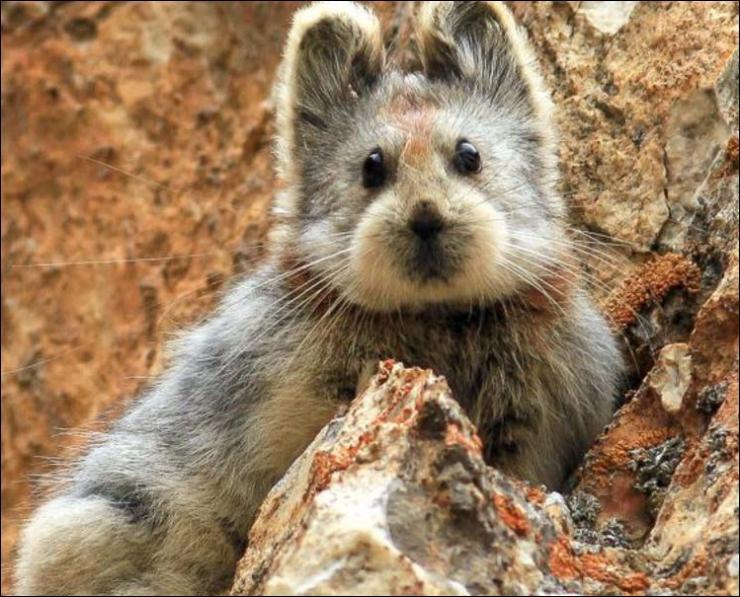 Où vit ce joli petit animal, le Ili pika ou pika d'ili, qui n'avait pas été photographié depuis 20 ans ?