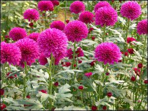 """Quand """"les fleurs de cimetière """" ne sont pas des chrysanthèmes , que peuvent-elles être ?"""