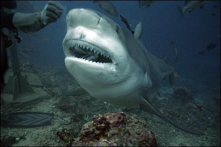 Quel est le nom du requin auquel on attribue 12 morts à la Réunion ?