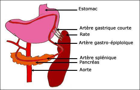 """Quel organe est approvisionné en sang oxygéné par """"l'artère splénique"""" ?"""