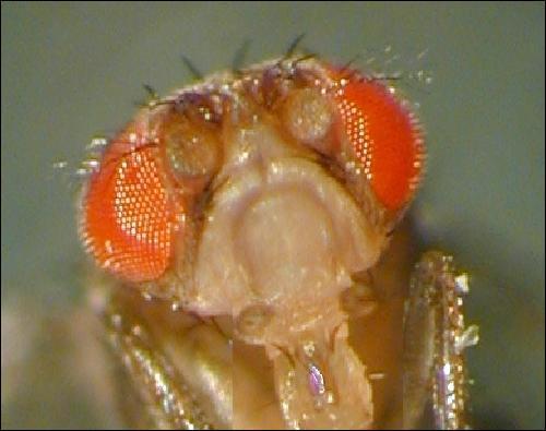 Quelle mouche est la star des labos ?
