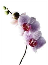 """On commence en douceur avec cette belle orchidée. Le mot """"orchidée"""" vient du latin """"orchis"""" qui signifie..."""