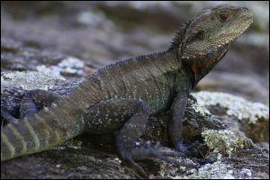 Le dragon d'eau mâle arbore fièrement une crète épineuse et il aime se faire doré au soleil.Combien y a-t-il de fautes ?