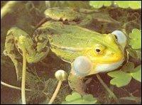 Ce batracien porte une ----- / -----, sur le dos. On l'appelle aussi grenouille ----.