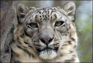 Ce félin, magnifique, est paré d'une longue fourrure blanche tachetée de ----. Le léopard des neiges porte aussi le ---- d'----.