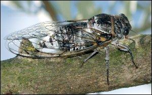 La cigal est un insecte hémipterre qui se nourit en perçant les écorces de son raustre.Combien y a-t-il de fautes ?