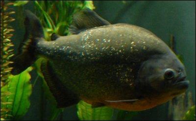 Le ---- dont il existe plus de ---- variétées, entre dans la grande famille des poissons carnivores dès lors qu'il ---- à ventre rouge.J'ai aussi fait une faute dans un autre mot ! Lequel est-ce ?