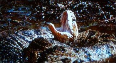 Cet animal à ---- et ----- est une espèce de vipère vivant dans certaines régions des États-Unis. Attention, aussi bien dans l'eau que sur la berge !