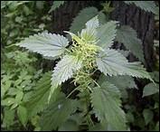 Les orties sont des plantes ------ largement employées tant en médecine ---- soupes et pour les volailles.