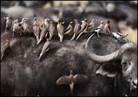 Les ---- appartiennent à la famille des ----- et habitent la savane. Ils se nourrissent des parasites vivant sur la peau des bœufs et des grands ongulés.