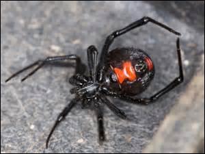 La veuve noire est une araignée du pour-tour Méditerranéen ; sa piqure très discrète peut provoquer ensuite des douleurs abdominale, des contractures douloureuses.Combien y a-t-il de fautes ?