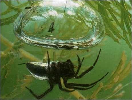 L'araignée d'eau ou l'araignée argyronète vit sous l'eau.