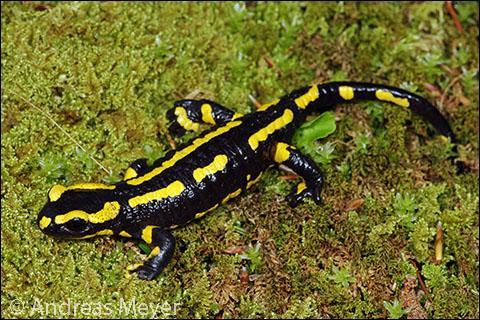 Vous connaissez la salamandre bien sûr, animal commun de nos mares, mais savez-vous de quel roi elle fut l'emblème ?