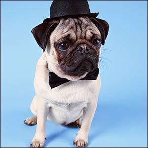 Vrai ou Faux ? Les chiens de petite taille ont l'estomac plus gros que leur tête ?