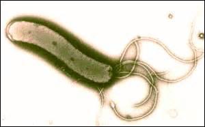 Quelle bactérie, responsable des ulcères gastriques, est capable de survivre dans le milieu acide de l'estomac ?