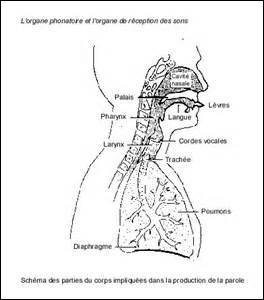 Attention à ne pas confondre thyroïde et cartilage thyroïde. La première est une glande située au niveau de la gorge est le second un cartilage faisant partie intégrante d'un organe permettant la parole. Lequel ?
