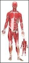 Quel muscle est paralysé lorsque l'on souffre de torticolis ?