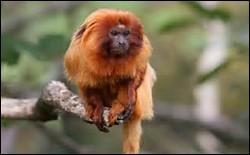 Bien sûr on ne va pas confire une partie de l'animal ! Mais la confiserie que l'on trouve à Maurice porte le même nom que ce singe.