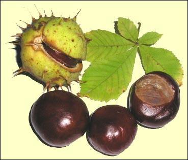 Ne pas confondre ce fruit toxique avec la châtaigne comestible ! Il donne son nom à la couleur...