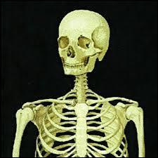 Combien d'os le squelette d'un adulte comporte-t-il ?