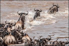 Dure, dure, la traversée de la rivière Mara pour les gnous !