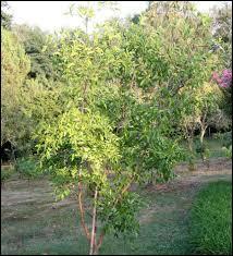 Les jujubiers sont des arbres appartenant à la famille des Rhamnacées.