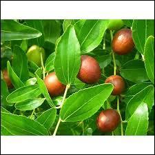 Tous les jujubiers produisent un fruit comestible appelé le jujube.