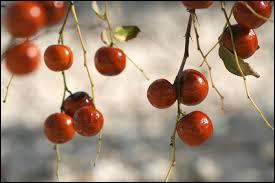 Ce fruit possède des vertus médicinales, contre la toux notamment.