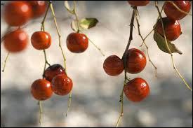 Ce fruit possède des vertus médicinales, contre les migraines notamment.