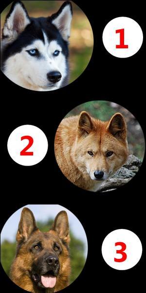 De ces trois mammifères, lequel est un chien sauvage ?