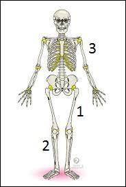 Sur l'image ci-contre, quel nom porte l'os n° 1 ?