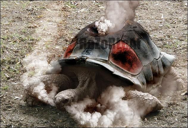 De quel Pokémon cette tortue est-elle une grande fan ?