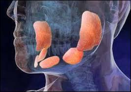 Durant les oreillons, les glandes parotides sont enflammées mais indolores.