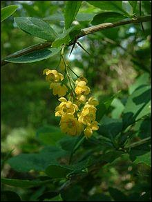 Quel est le nom de cet arbuste épineux dont les fruits peuvent servir à l'élaboration de confitures ou de boissons ?