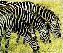"""Télévision - A quelle série télévisée des années 80 le nom de code """"Zebra 3"""" vous fait-il penser ?"""