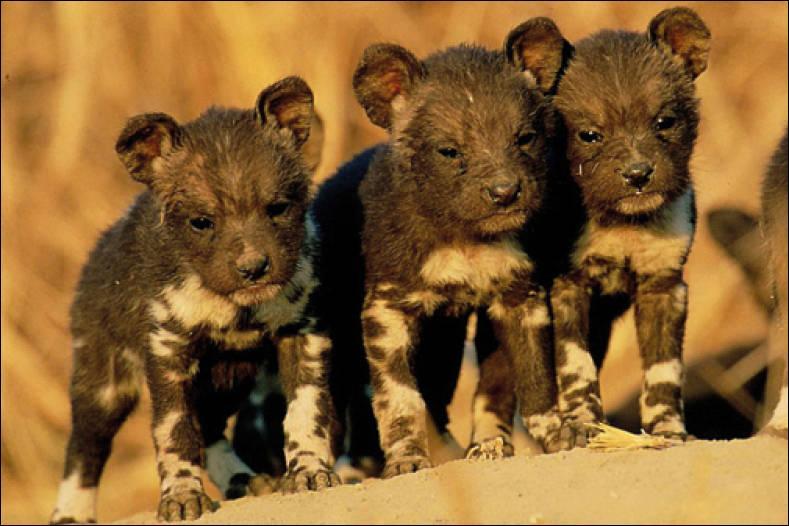 Plus tard, leur meute chassera dans la savane africaine !